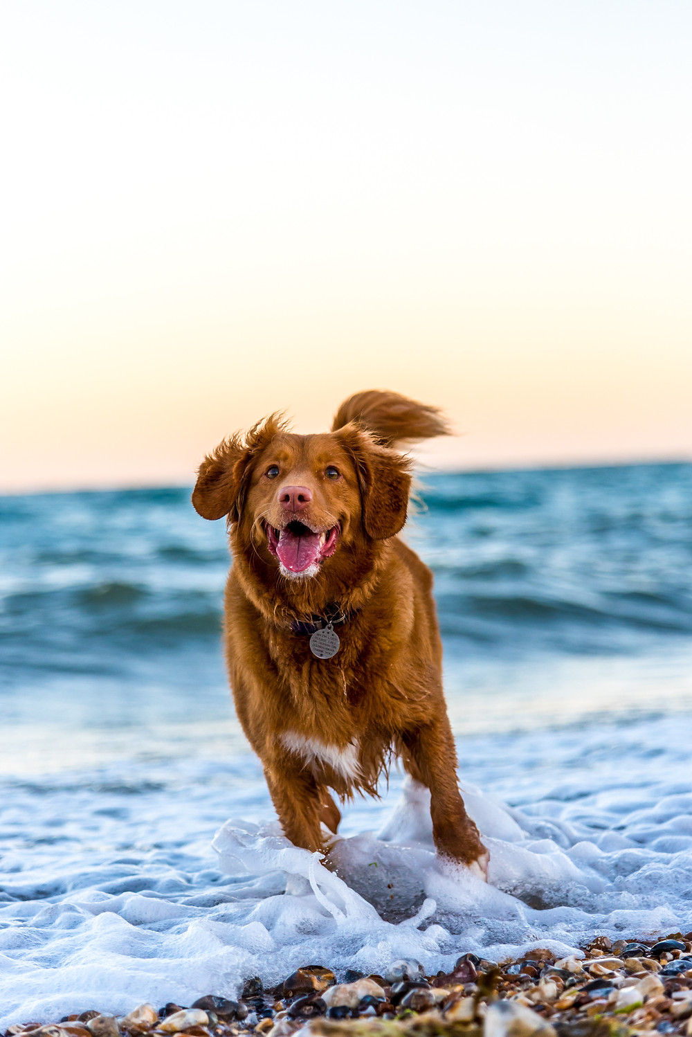 A dog running through the beach shore and his paws are in the water