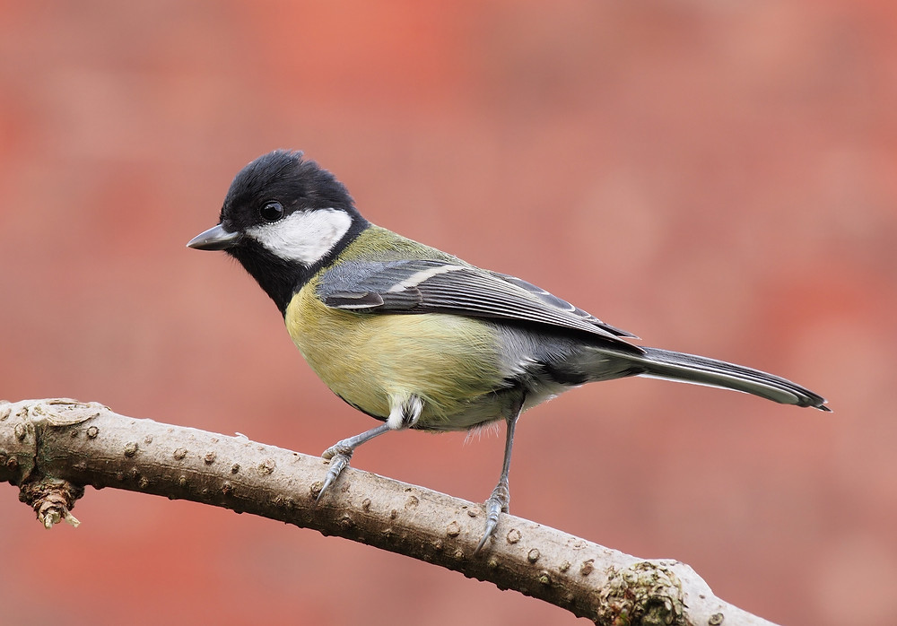 Side Angle of the Great Tit Bird (Credit: Wikipedia)