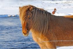 Horses - Icelandic - winter