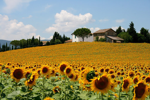 Spectacular sunflower fields in Tuscany, Italy