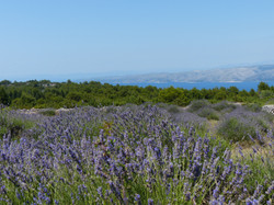 Hvar - Lavender fields