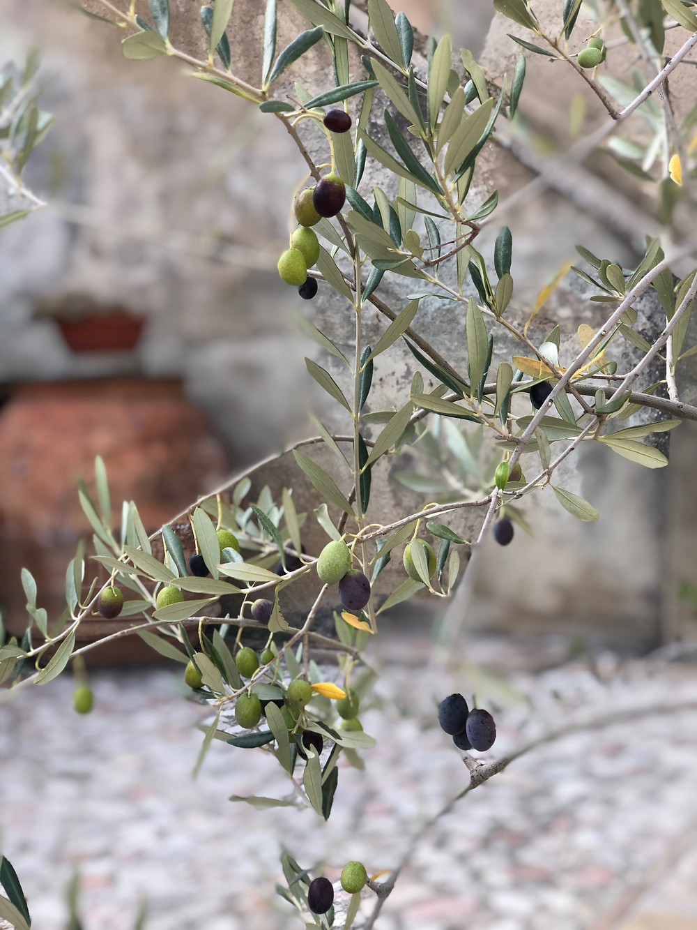 Olives in Italy