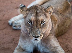 Lioness looking at the camera