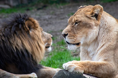 Female lion looking at a make lion.