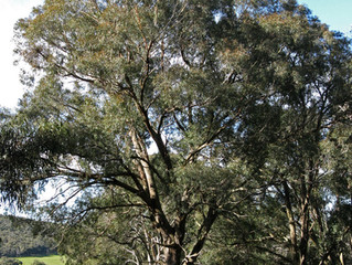 La Plante du mois: L'Eucalyptus Radiata