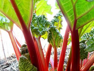 La plante du mois : La rhubarbe