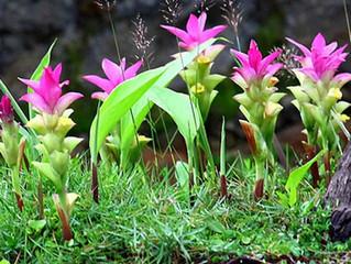 La plante du mois: Le Curcuma