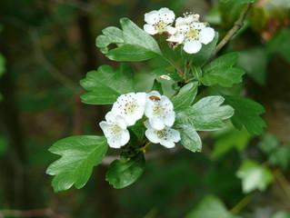 La plante du mois: L'Aubépine
