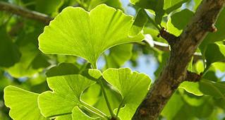 La plante du mois: Ginkgo Biloba