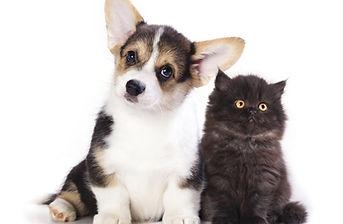 Pembroke Welsh Corgi puppy and  kitten.jpg