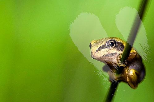 Baby Green Tree Frog