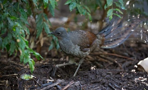LYREBIRD AVIARY HEALESVILLE SANCTUARY