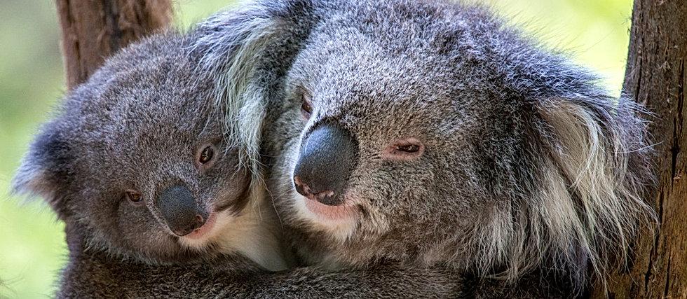 Koala Cuddles Healesville Sanctuary ZOOB