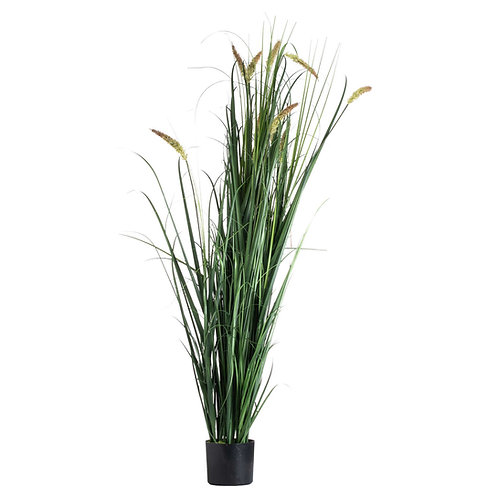 Large Potted Meadow Grass