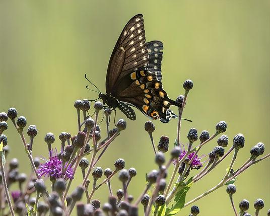Black Swallowtail -O1.jpg