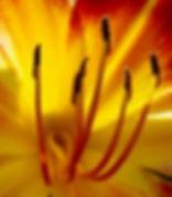 Hebbermehl Tulip.jpg