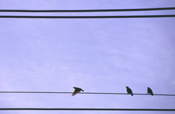 Bird_On_A_Wire_©CPS
