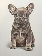 French bulldog 1.JPG