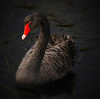 Black Swan 4K.jpg