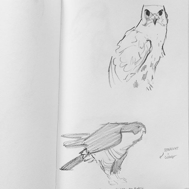 Day 337. Falcons