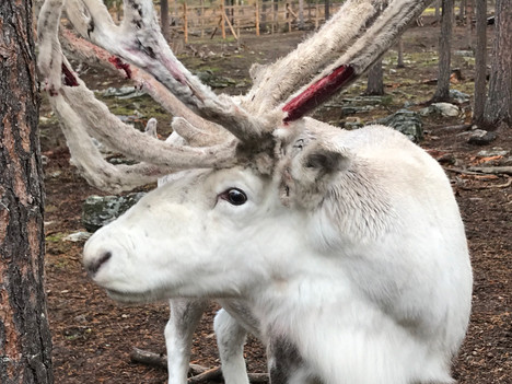 Ranua Zoo Family Tour from Rovaniemi by Viator