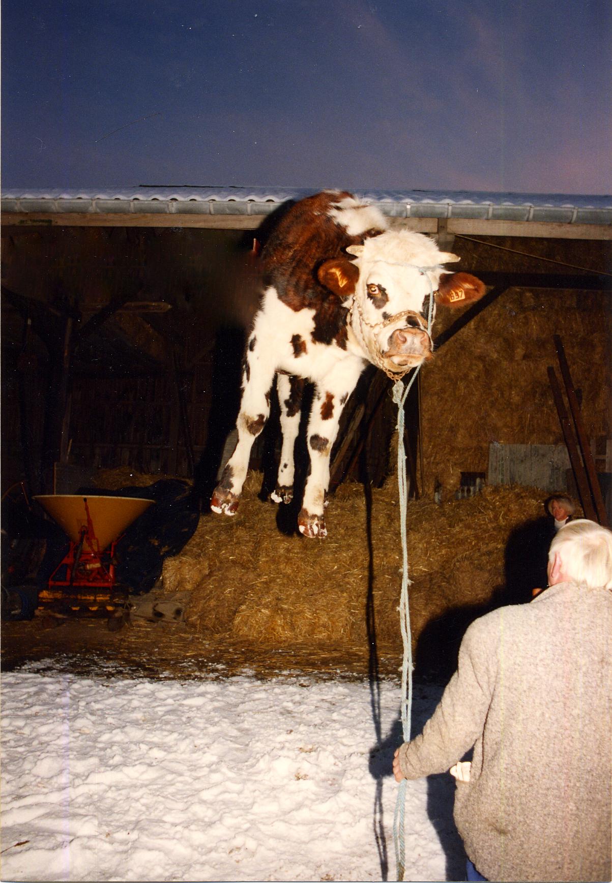 Méga-Illusion - la Vache