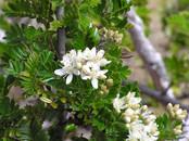 Ulei_Logans flower.JPG