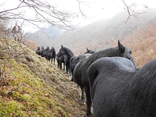 2012.11.10_Troupeau_de_Graoullés_à_Biech
