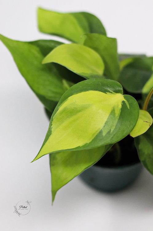 Brasil Cordatum | Philodendron Brasil