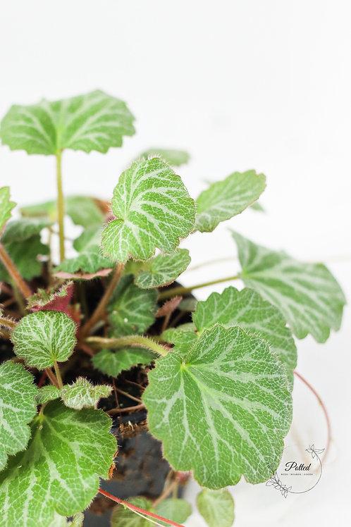 "Strawberry Begonia   4"" Pot   Saxifraga Stolonifera"