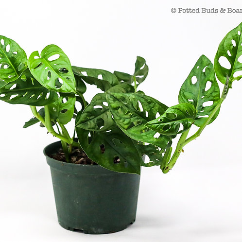"""Philodendron Swiss Cheese 