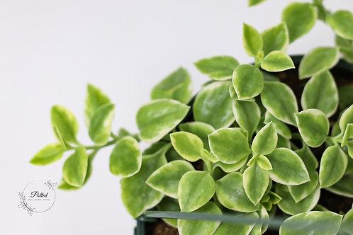 """Heartleaf Ice Plant   Trailing Succulent   8"""" Hanging Basket"""