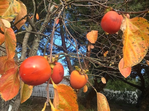 Fall persimmons for health