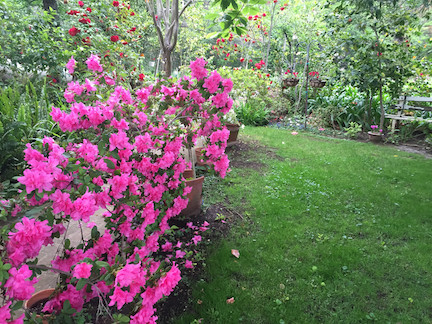 Azaleas & Camellias in the May Garden