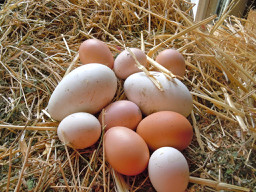 Goose and chicken eggs are good for you