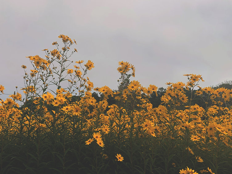 golden asters.jpg
