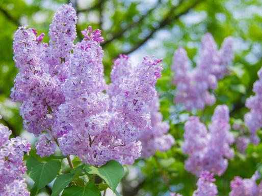 北海道内各地で、爽やかで綺麗な花、ダイナミックな花畑の様子を見ますと、楽しくなるシーズン