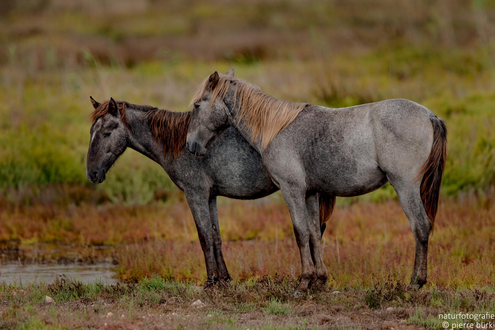 Pferd - Cheval
