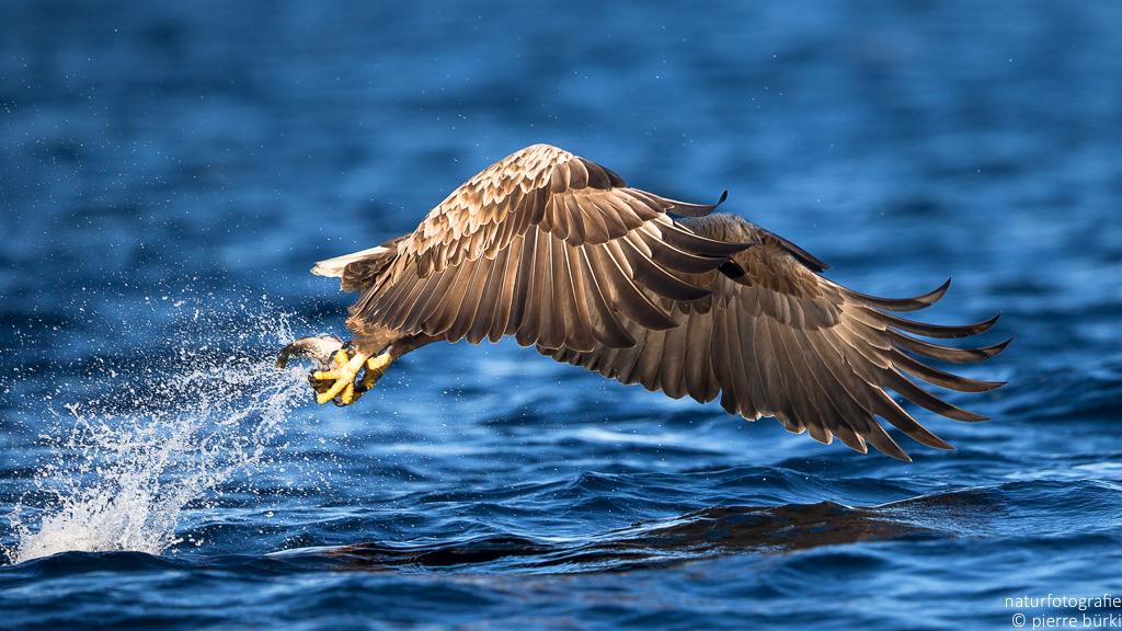 Seeadler - Pygargue à queue blanche