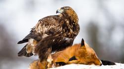 Steinadler - Aigle royal