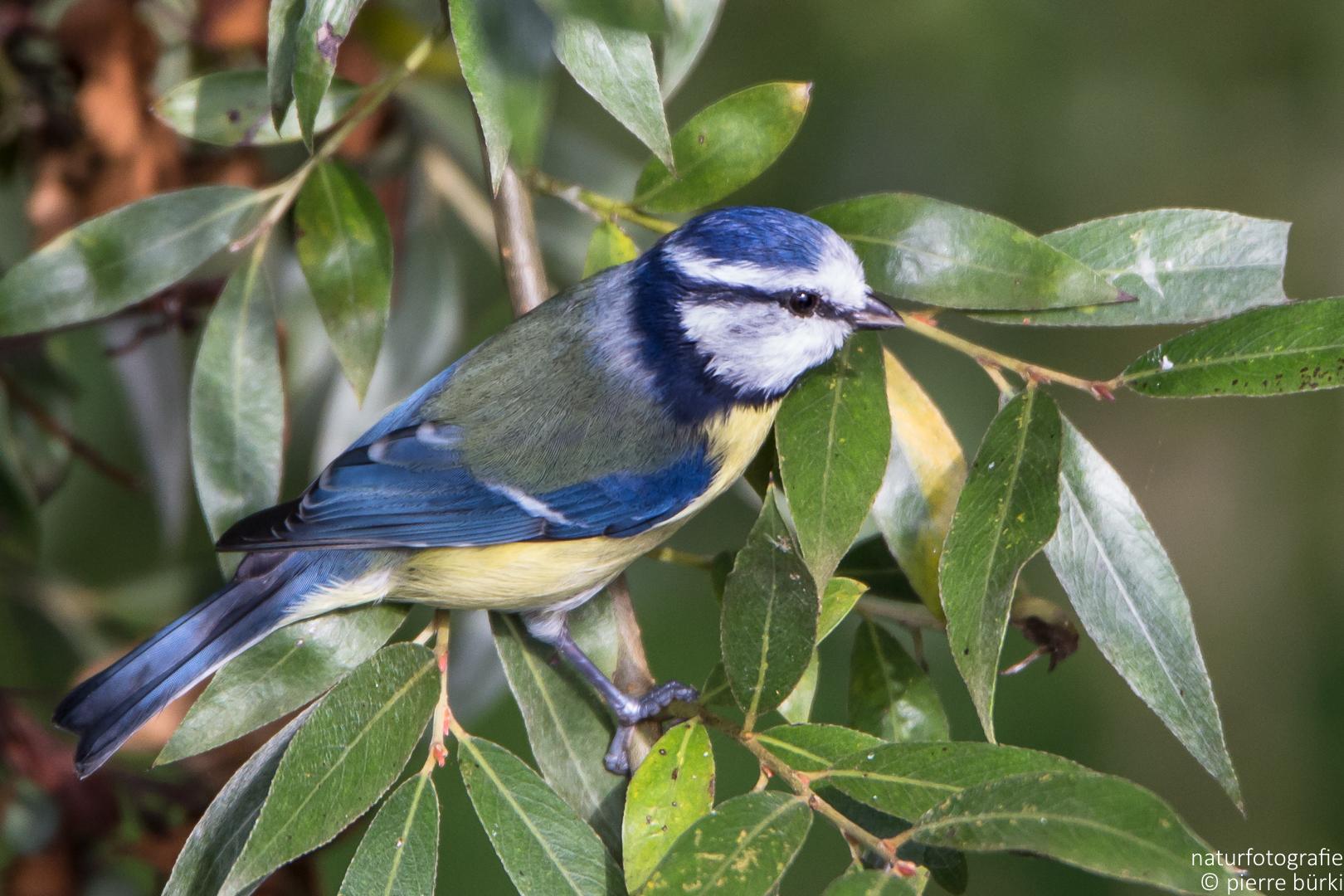 Blaumeise - Mésange bleue