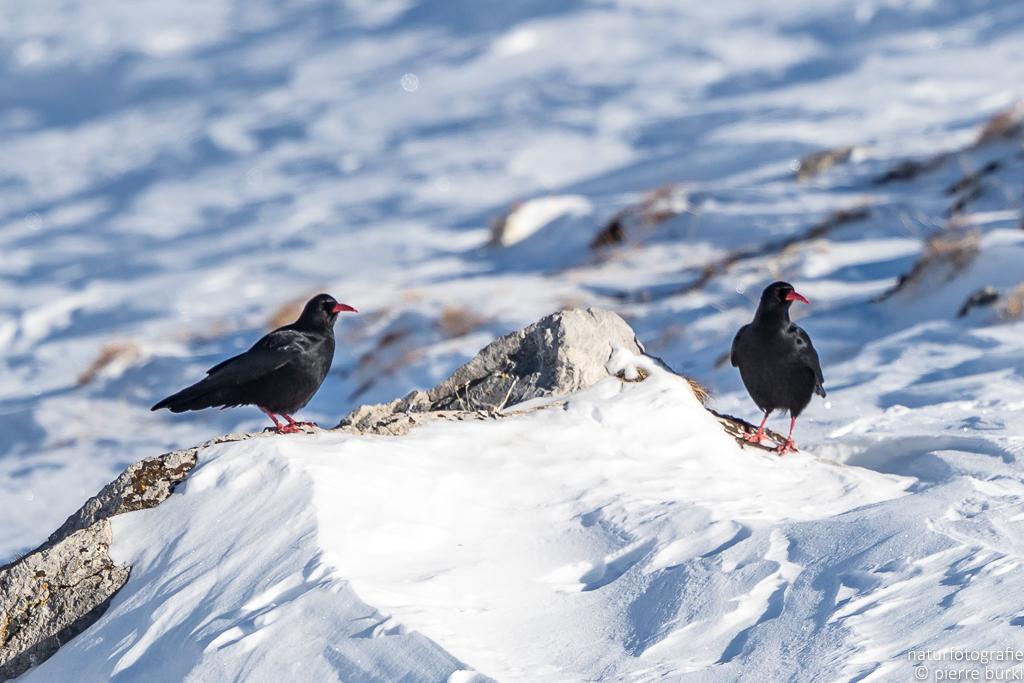 Alpenkrähe - Crave à bec rouge