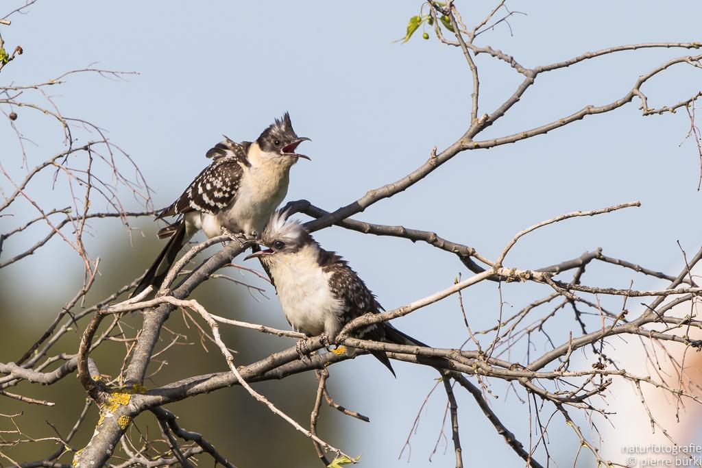 Häherkuckkuck - Coucou geai