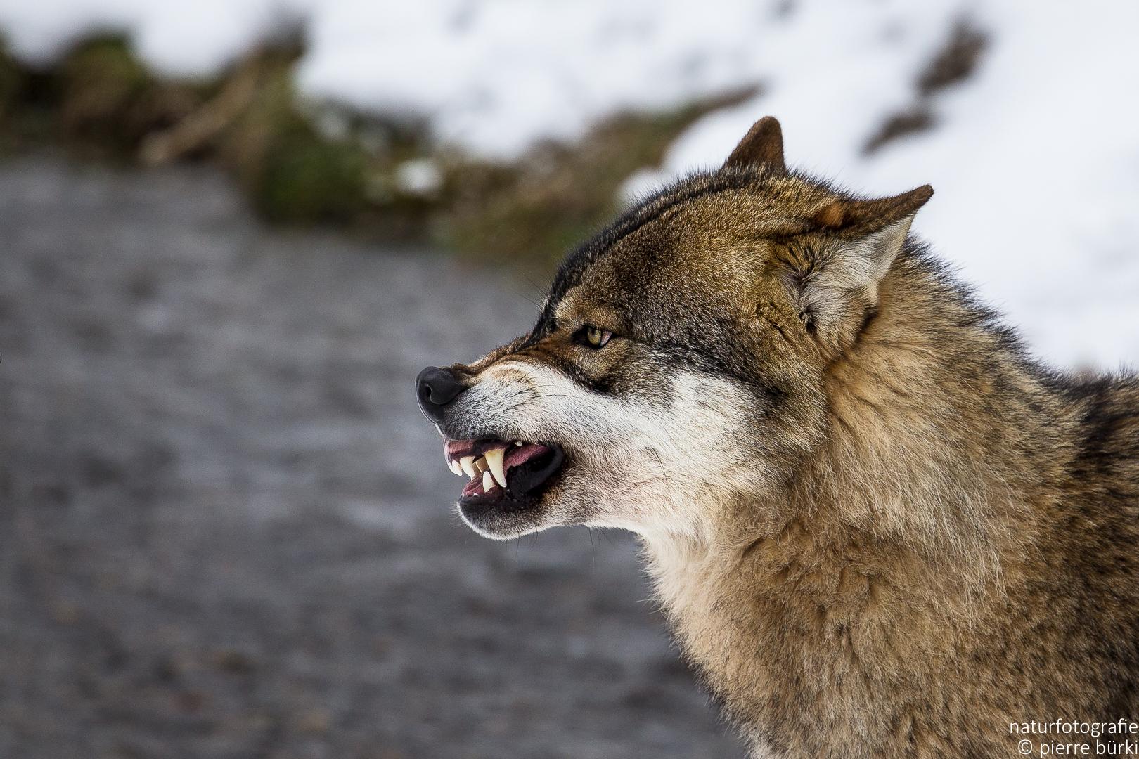 Wolf - Loup