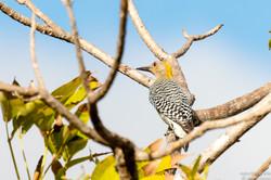 Hofmann's Woodpecker