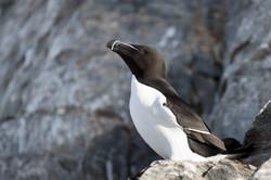 Toldalk - Pingouin torda