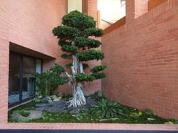Ficus en nuage, 3 mètres de haut