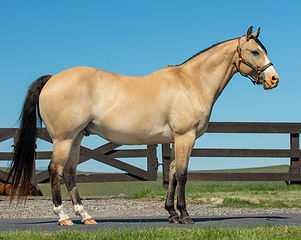 Finished reiner, buckskin Quarter Horse gelding