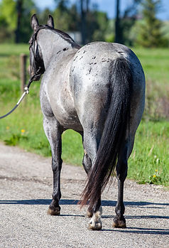 blueroan.mare.rear-3092.jpg