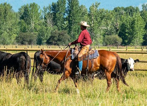 worked around cows, ranch horse
